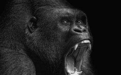 shutterstock 172469303 Gorilla LR 400x250 - Blog